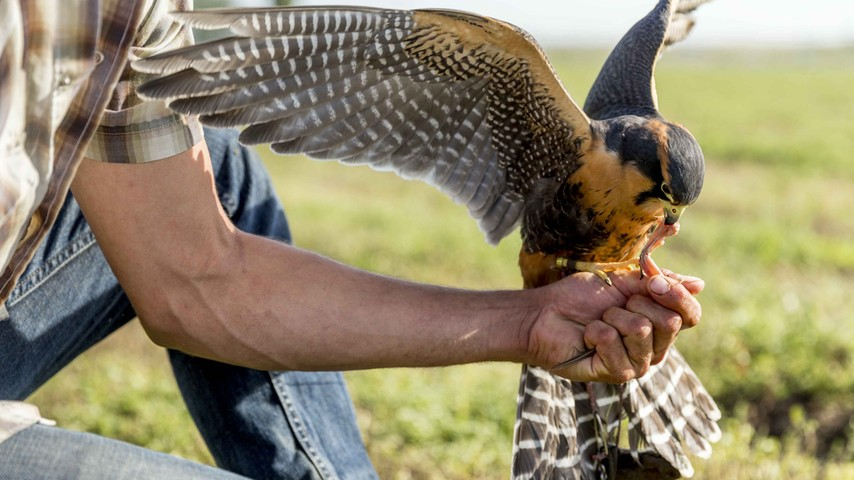 A sustainable pest control method includes using falcons